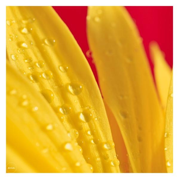 yellow flower macro 2 by mohikan22