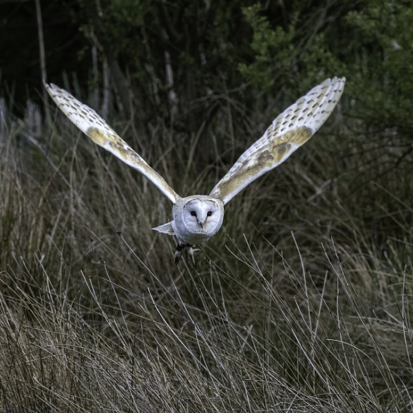Barn Owl in Flight by doverpic