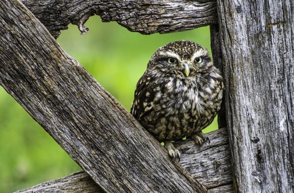 Little Owl by ChristopherA