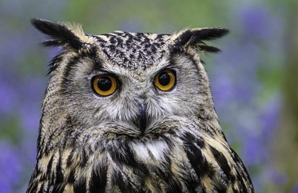 Eagle Owl portrait by ChristopherA