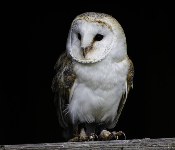 Barn Owl by ChristopherA