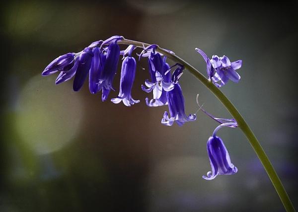 Bluebell in the sunlight by deavilin