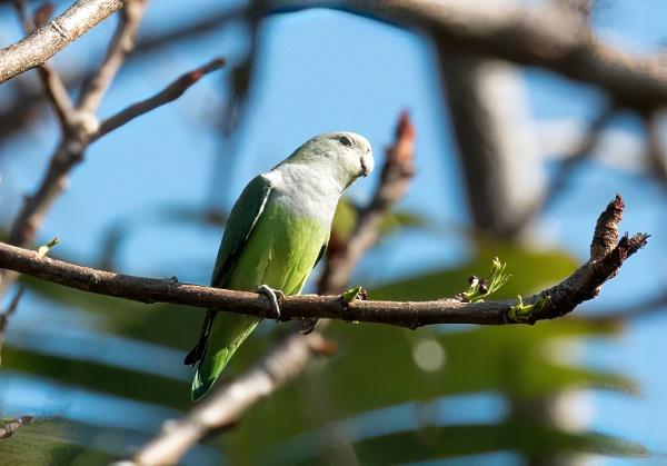 Grey-headed lovebird (Agapornis canus) by Karuma1970