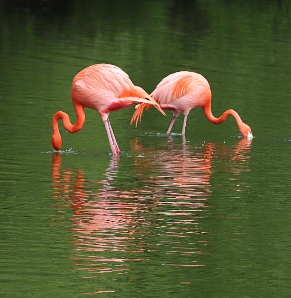Flamingos by Steveo28