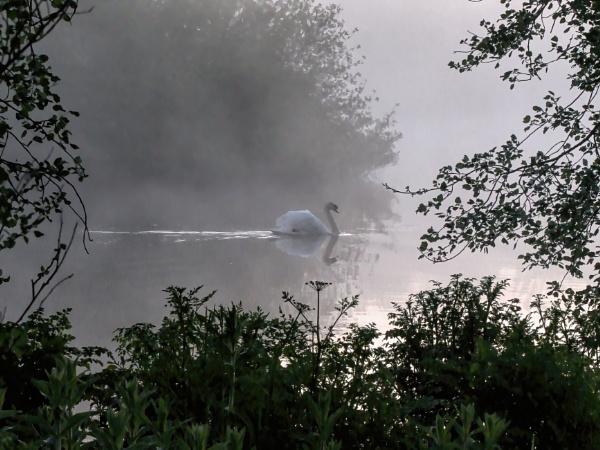 Swan in morning mist by cmiller