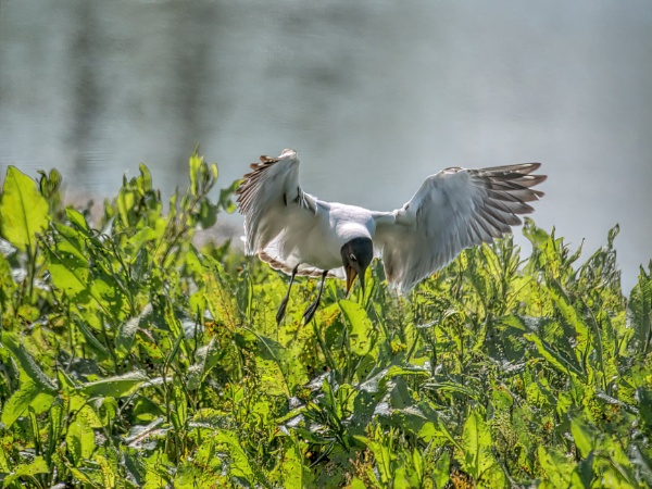 Black headed gull by cmiller