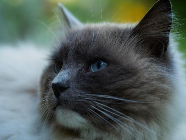 Ragdoll Cat by victorburnside
