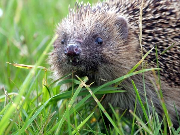 Hedgehog by DerekHollis