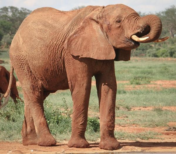 Red Elephant (Tsavo Park Kenya) by goochian3