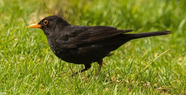 Male Blackbird by RonDM