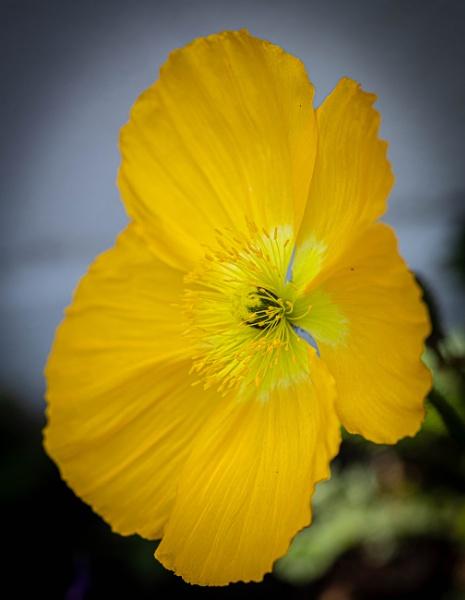 Yellow Poppy by RonDM