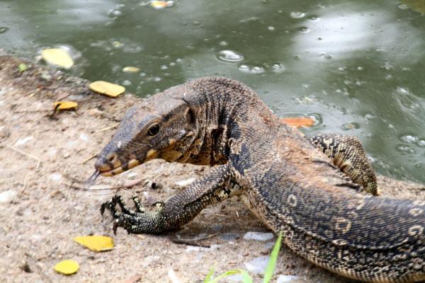 Water Monitor Lizard by mikekay