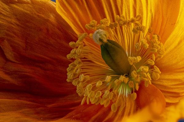 Papaver cambricum(Welsh poppy) by kip55