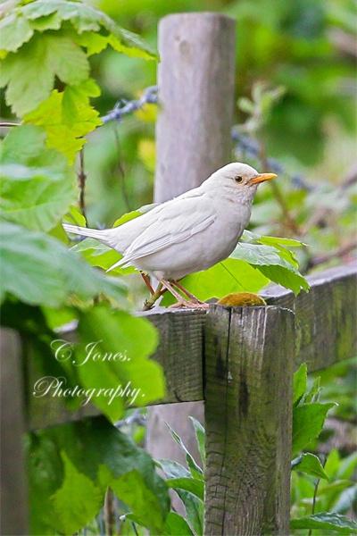 Blackbird. by cjones