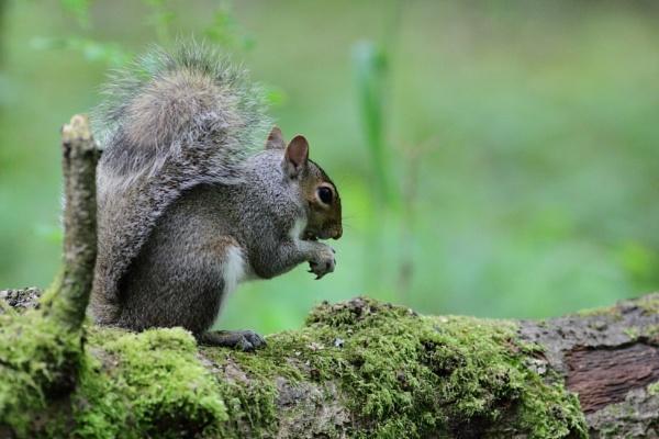 Grey Squirrel by Philipwatson