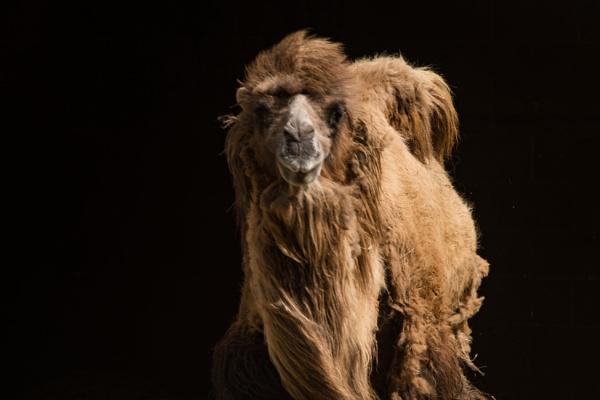 Bactrian Camel by SamDownie