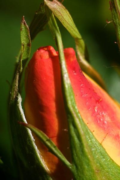 rose bud by elousteve