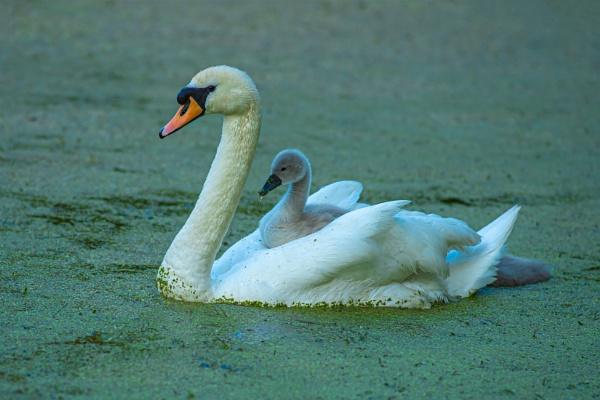 Ride A White Swan by chensuriashi