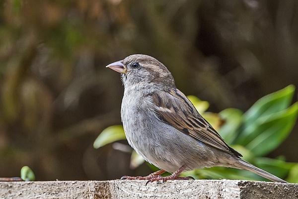 House Sparrow (female) by johnsd