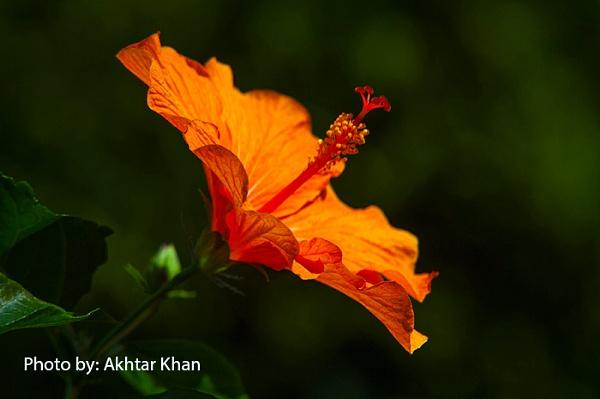 Flower so beautiful by akhtarkhan