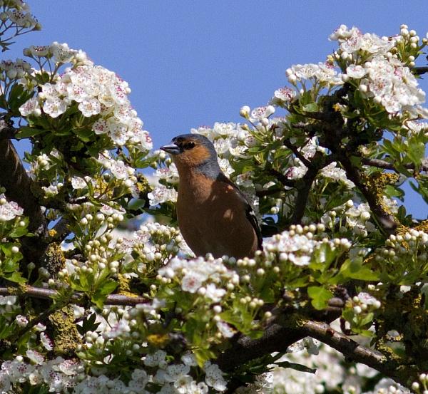 Chaffinch in hawthorn by oldgreyheron