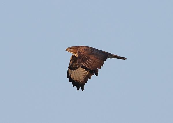 Buzzard in Flight by NeilSchofield