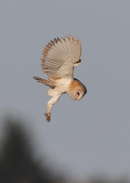 Hunting Owl by NeilSchofield