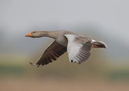 Greylag in Flight