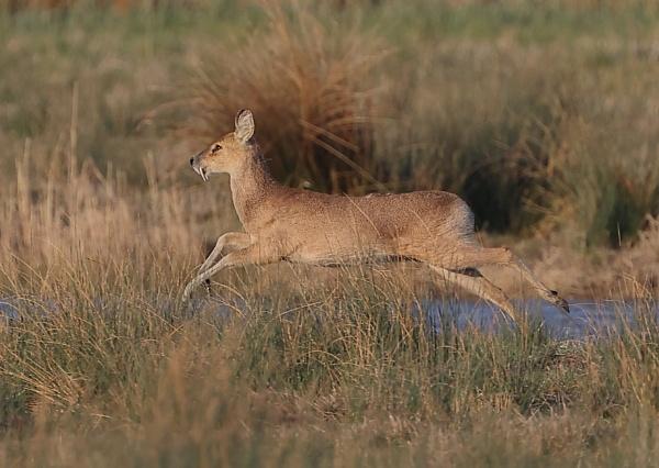 Water Deer by NeilSchofield