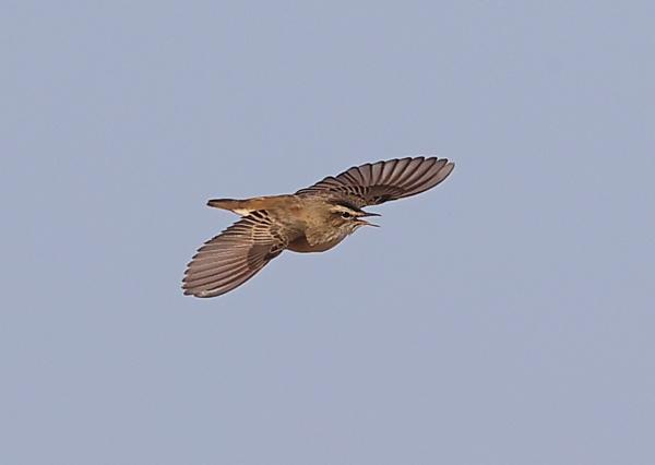 Sedge warbler in Flight by NeilSchofield