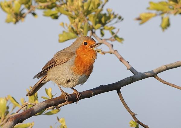 Robins by NeilSchofield