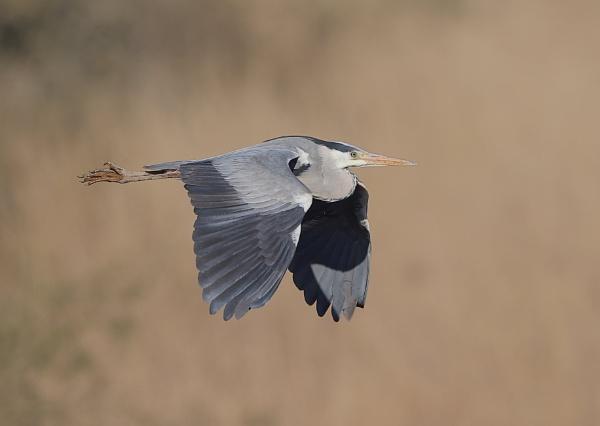 Heron in Flight by NeilSchofield