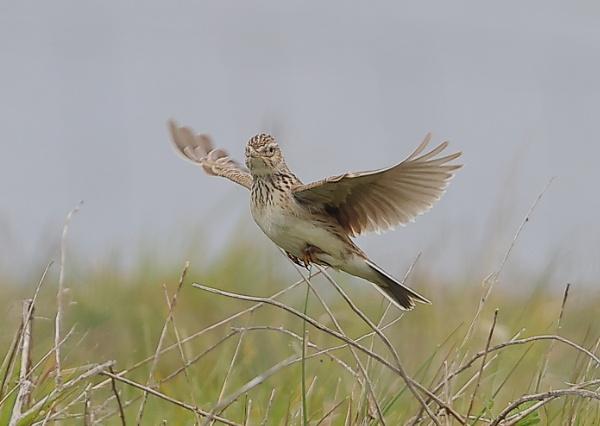 Skylark In Flight by NeilSchofield