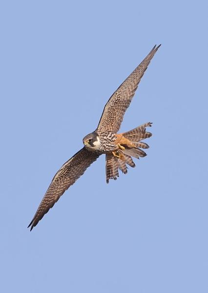 Hobby in Flight by NeilSchofield