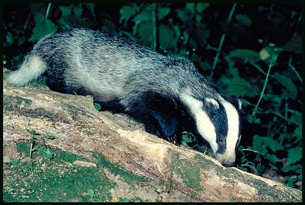 Badger on Log ... by Badgerfred