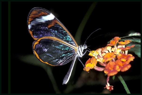 Greta - oto, Glasswing Butterfly .. by Badgerfred