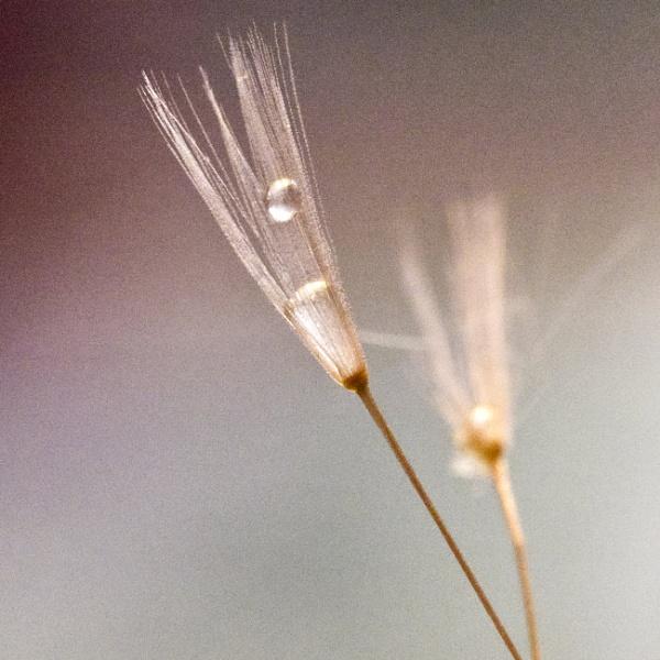waterdrop on dandelion clock by elmer1
