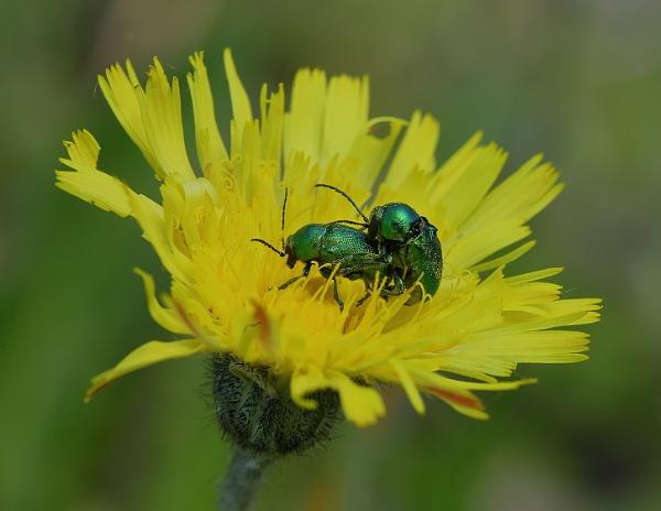 Cryptocephalus (leaf beetle) by colin beeley
