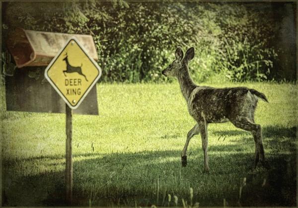 One Smart Deer by Daisymaye