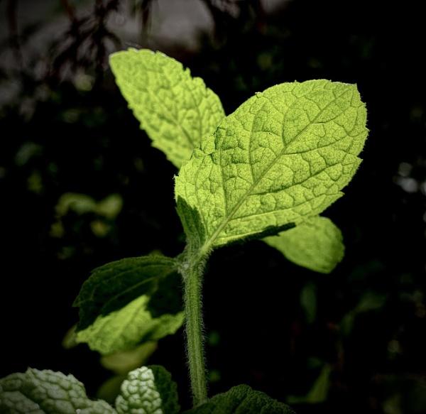 Minty Glow by nclark