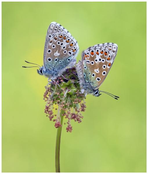 Adonis Blues - Polyommatus bellargus. by NigelKiteley