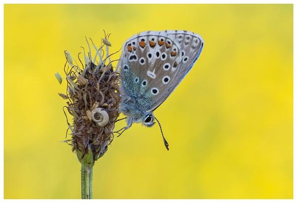 Adonis Blue - Polyommatus bellargus. by NigelKiteley