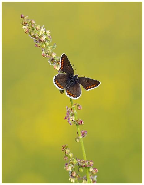 Brown Argus - Aricia agestis. by NigelKiteley