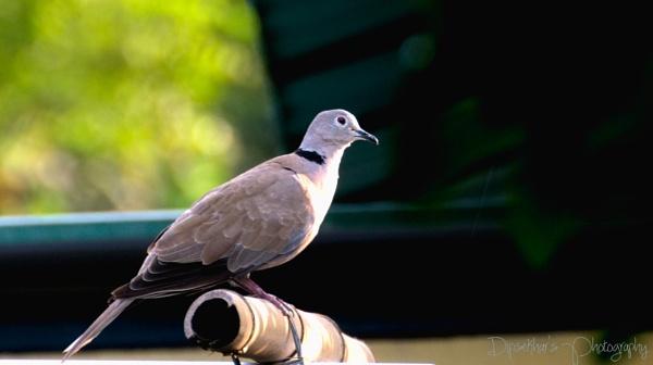 Eurasian Collared Dove by dipsekhar