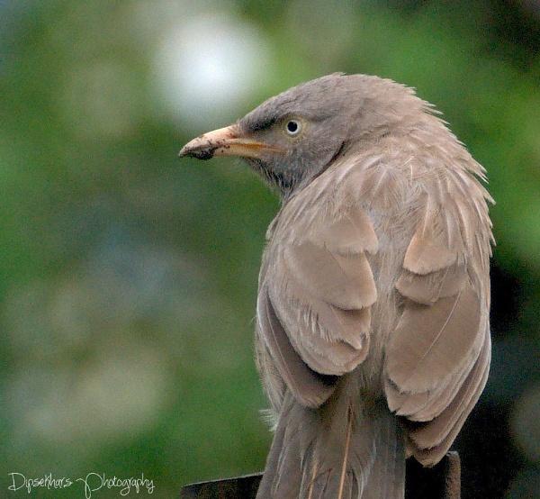 Grey Babbler by dipsekhar