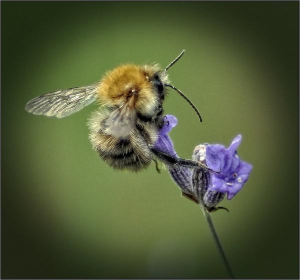 Spotlight on a bee (4) by PhilT2
