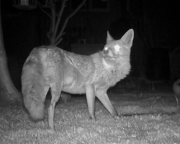 Night Fox by Alan_Baseley