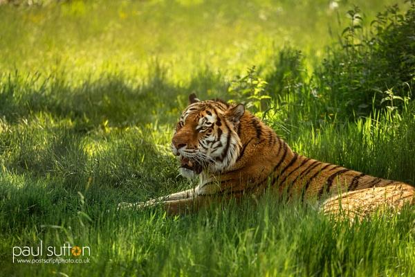 Amur Stripes by sut68