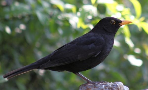 Blackbird - Turdus Merula by peterkin