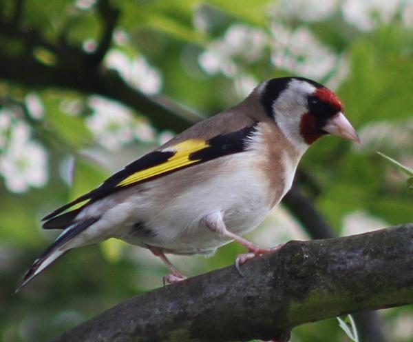Goldfinch - Carduelis carduelis by peterkin